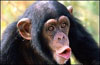 chimpring.jpg