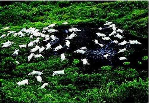 grazing-cattle-killed-lake-nyos.jpg